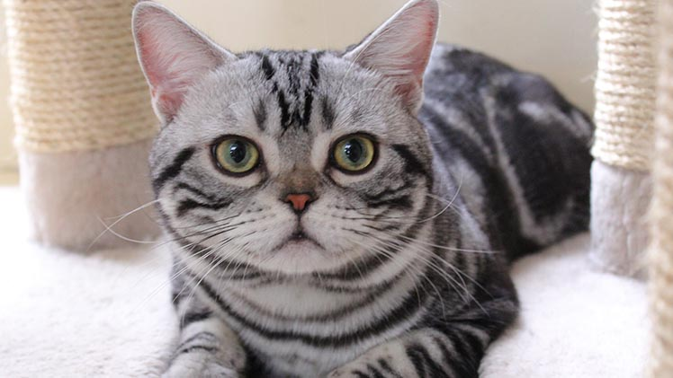 American shorthair CUte love for famile
