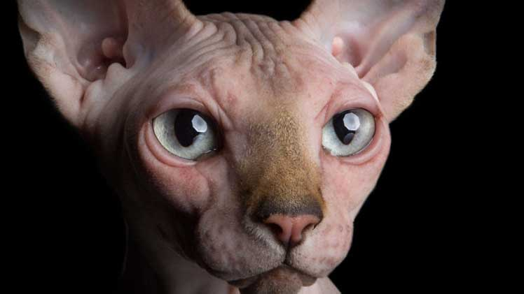 Sphinx Cat eye Focut