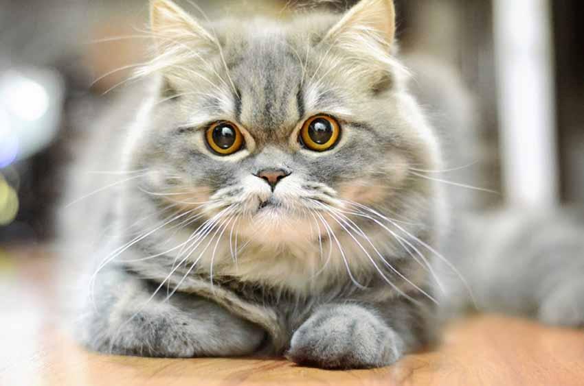 Somali cat wiki