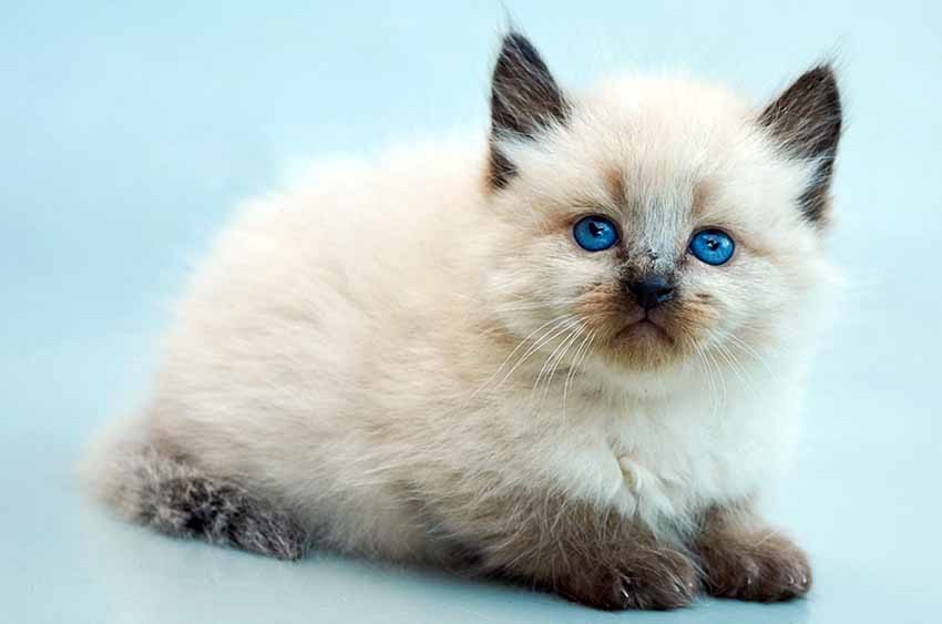 balinese-cat-white-black