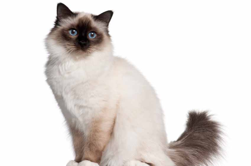 birman cat white