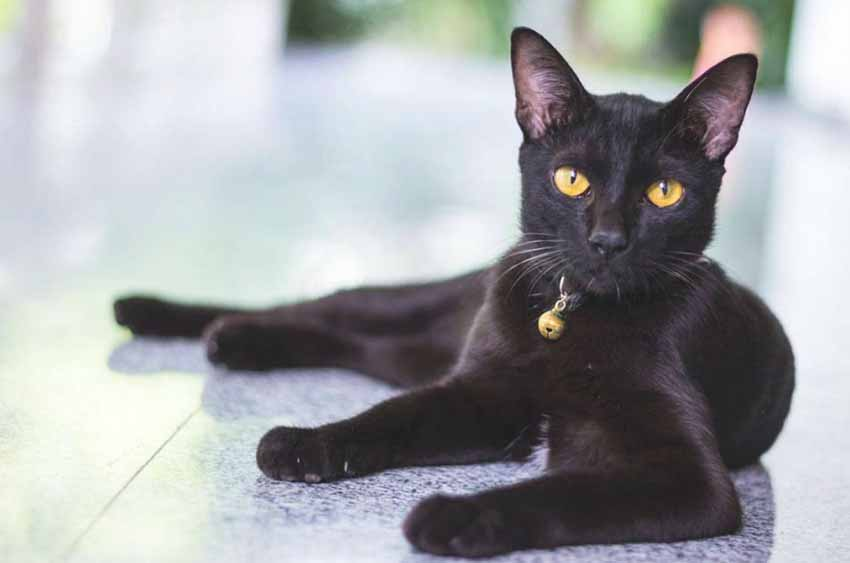 bombay-black-cat