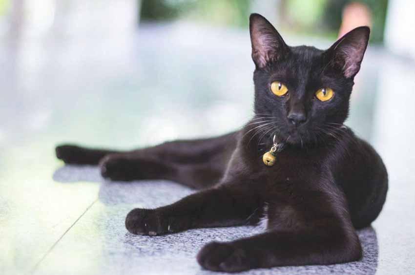 bombay-black-cat