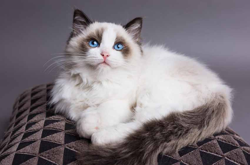 ragdoll_cat_white