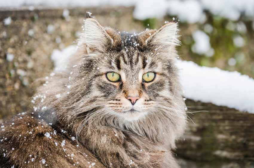 Norwegian Forest Cat Snow