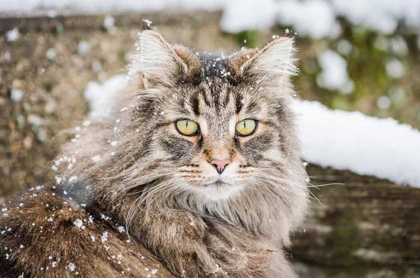 Norwegian Forest Cat Snow