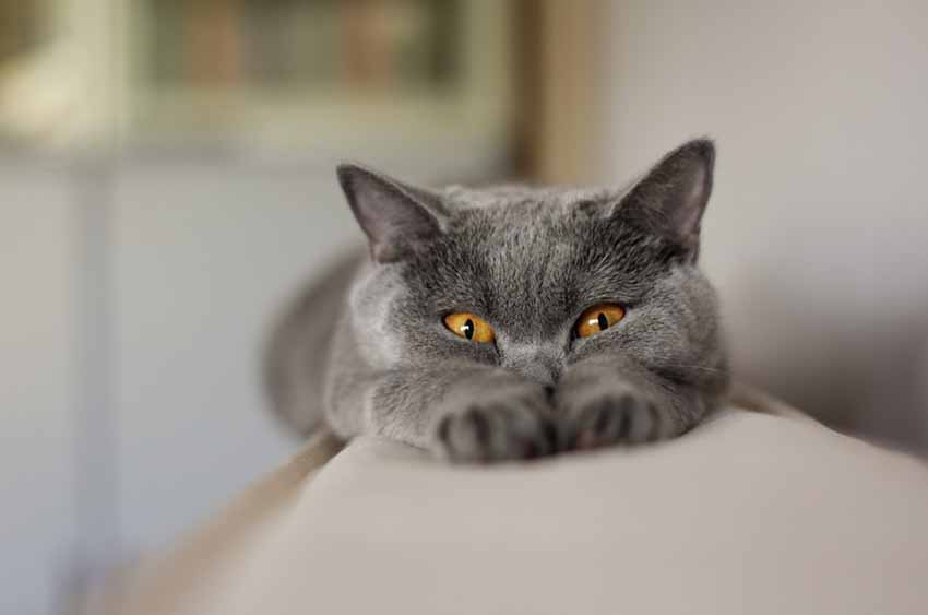 Chartreux cat black